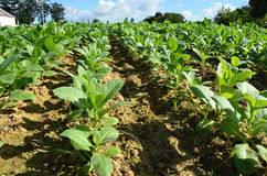 Tobacco field - detail of leaves- tropical plant in Cuba Royalty Free Stock Photo