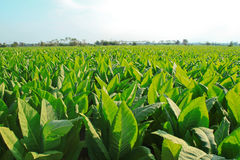 Tobacco field. Tobacco farm on a sunny day Royalty Free Stock Images