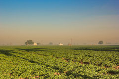 Tobacco Field Royalty Free Stock Photo
