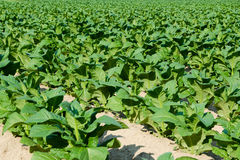 Tobacco field. Growing american tobacco crop field stock image