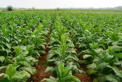 Tobacco in the field royalty free stock photos