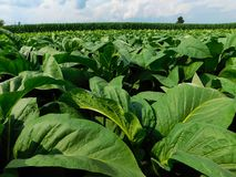 Tobacco plants with a corn field in the background royalty free stock image