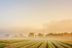Tobacco field. In the morning with fog Stock Images