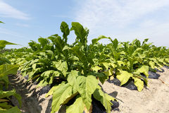 Tobacco field plantation Royalty Free Stock Photos