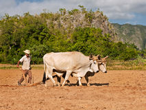 Tobacco Field Ploughing, Cuba. A man with an oxen ploughing a tobacco field in Cuba Stock Photos