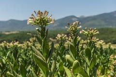 Tobacco field Stock Image