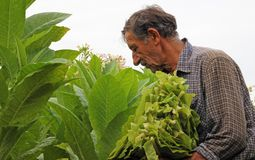 Tobacco in the field. Senior farmer controlling and picking tobacco leaves in the field royalty free stock photo