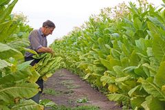 Tobacco in the field. Senior farmer controlling and picking tobacco leaves in the field royalty free stock photos