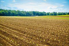 Tobacco field in spring. Freshly planted tobacco sprouts in the field in Central Kentucky royalty free stock image