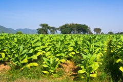 Tobacco field Thailand. Tobacco field in Northern Thailand royalty free stock photo