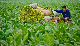 Tobacco field  in thailand Stock Image