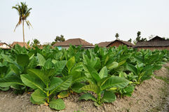 Tobacco field in a village royalty free stock image