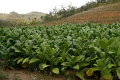 Tobacco field in a Vinales countryside in Cuba Stock Photo