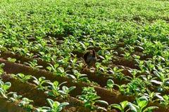 Tobacco Field - Vinales, Cuba Royalty Free Stock Photos