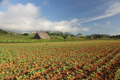 Tobacco field in Vinales, Cuba Stock Photography