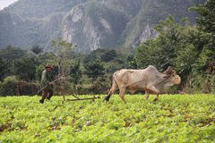 Tobacco field in Vinales, Cuba Stock Images