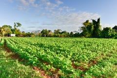 Tobacco Field - Vinales Valley, Cuba Royalty Free Stock Photos