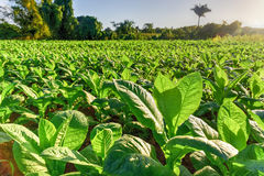 Tobacco Field - Vinales Valley, Cuba. Tobacco field in the Vinales valley, north of Cuba royalty free stock photos