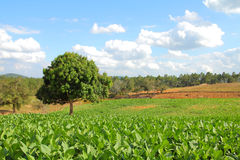 Tobacco fields. Cuba - tobacco plantation in Vinales National Park. UNESCO World Heritage Site Stock Photo