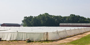 Tobacco Fields Stock Images