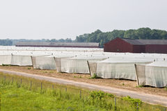 Tobacco Fields. White mesh shade tent covering tobacco crop Stock Photo