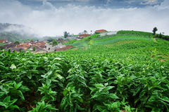 Tobacco fields. Picture was taken in Central Java, Indonesia stock image