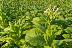Tobacco flower Stock Photo