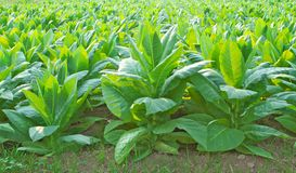 Tobacco. Green tobacco field in Thailand Royalty Free Stock Image