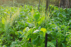 The tobacco growing in the rural farm Stock Photo