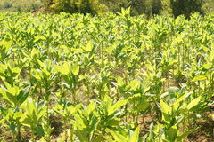 Tobacco is grown on a plantation in the mountains, green plants Stock Images