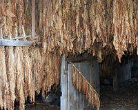 Tobacco hanging in the barn Royalty Free Stock Photography