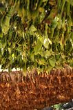 Tobacco hanging for drying Stock Photos