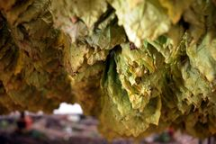 Tobacco Harvest 12 Royalty Free Stock Photography