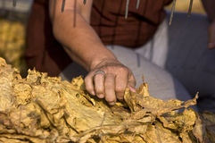 Tobacco harvest 15 Stock Images