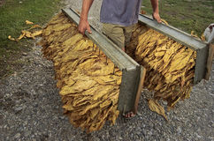 Tobacco harvest 16 Stock Photo