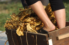 Tobacco harvest 17 Royalty Free Stock Photos