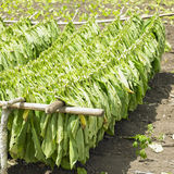 Tobacco harvest Stock Image