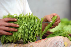 Tobacco harvest Stock Photography