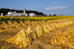 Tobacco Harvest Stock Photos