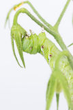 Tobacco hornworm  Manduca sexta Stock Image