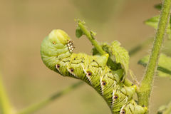 Tobacco hornworm moth caterpillar Royalty Free Stock Photo