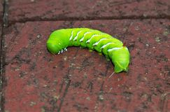 Tobacco Hornworm royalty free stock images