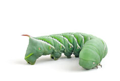 Free Tobacco Hornworm &x28;Manduca Sexta&x29; On A White Backgr Royalty Free Stock Images - 20759769