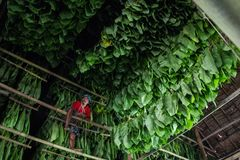Tobacco labour royalty free stock images