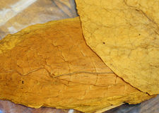 Tobacco Leaf Royalty Free Stock Images