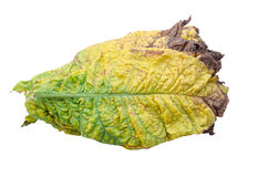 Tobacco leaf Royalty Free Stock Photography
