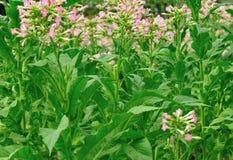 Tobacco leaf plant Royalty Free Stock Image