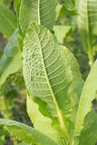 Tobacco leaf Stock Photography