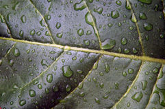 Tobacco leaf after rain. Close up of Nicotiana rustica leaf, also known as Aztec Tobacco after rain with water drops Stock Images