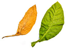 Tobacco Leaf On White Background. Of Thailand Royalty Free Stock Image